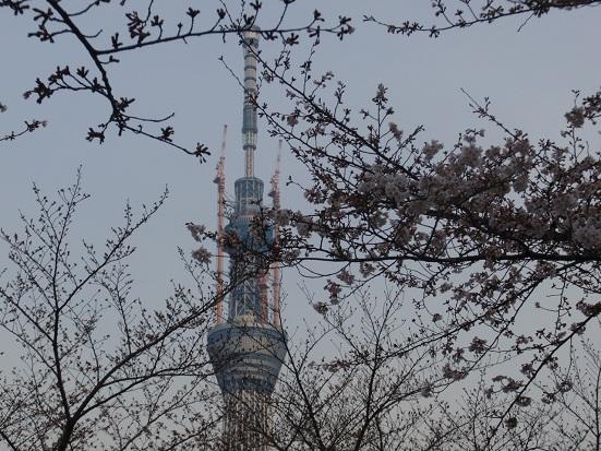 桜はまだまだ.jpg